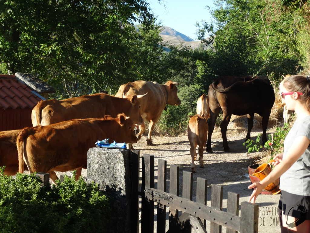 vacas 1