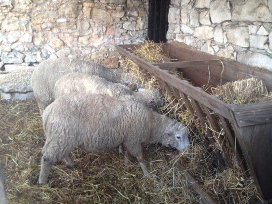 Ovelhinhas, hoje, na casa da Irmã Lúcia, Fátima